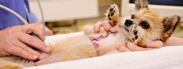 puppy-ultrasound